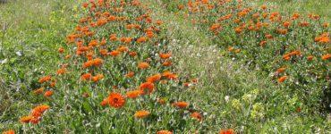 Coltivazione Echinacea